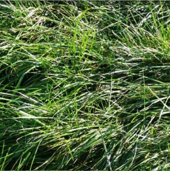 Dual Hybrid Ryegrass