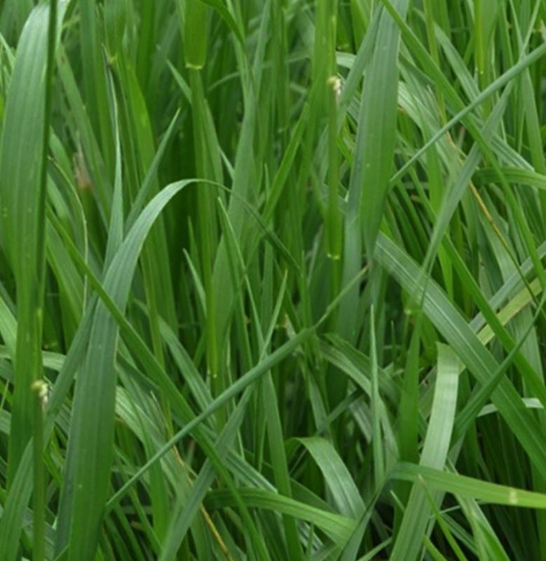 Primefest Festulolium Ryegrass
