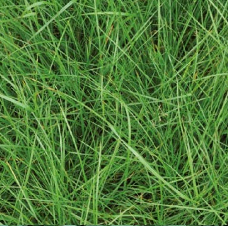 Tactic Perennial Ryegrass