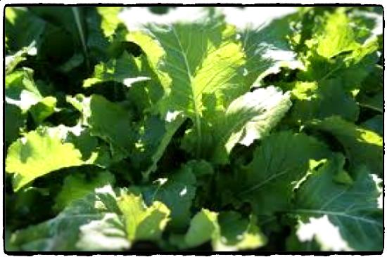 Multi Graze Leafy Brassica
